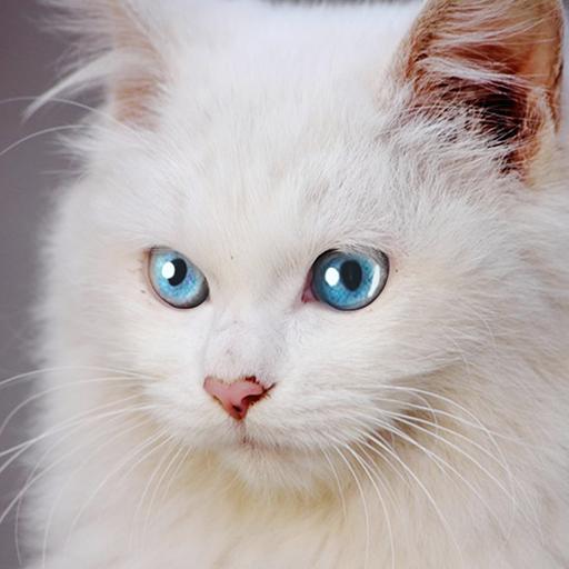 Talking Burmese Cat  Apk Pro Mod latest1.0.6